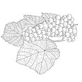 Abstract Grape with leafs (Vector) Stock Image