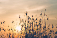 Abstract of grass flower in sunrise time Stock Photography