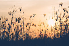 Abstract of grass flower in sunrise time Royalty Free Stock Images