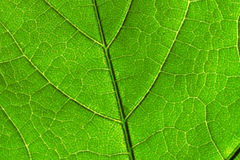 Abstract grean leaf. Natural background. Stock Photo