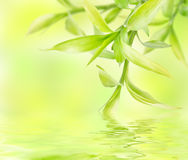 Abstract green background with bamboo. Abstract spring green background with bamboo leaves in water royalty free stock photos