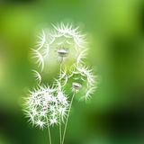 Abstract green background with  flower dandelion Royalty Free Stock Images