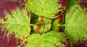Abstract Green Brown Leaves Nature Background - Coleus Blumei - Plectranthus Scutellarioides Stock Photo
