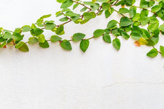 Abstract green creeper plant on white painted concrete wall background Royalty Free Stock Images