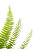 Abstract green fern leaf. On white background Royalty Free Stock Image