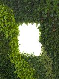 Abstract green foliage or leaves wall and white isolated window, copy space.  royalty free stock photo