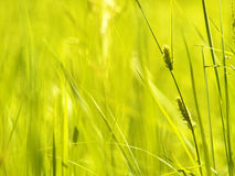 Abstract green grass background. Macro shot of a green grass. Soft focus. Focus on a blade in right corner stock image