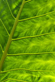 Abstract green leaf. Detail of a green leaf, tropical plant known as elegant leaf Stock Image