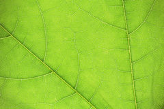 Abstract green leaf texture Royalty Free Stock Photography