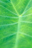 Abstract green leaf texture for background Royalty Free Stock Images