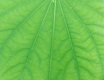 Abstract green leaf texture for background Stock Photo
