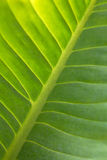 Abstract green leaf texture Royalty Free Stock Image