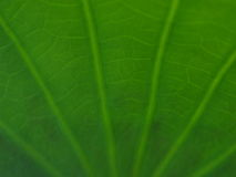 Abstract green leaf texture. Royalty Free Stock Photos