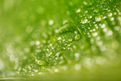 Abstract green leaf texture and water drops for background Royalty Free Stock Image