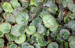 Abstract Green Leaves Nature Background - Saxifraga Stolonifera - Strawberry Begonia stock image