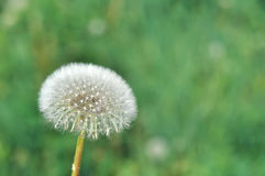 Abstract green nature blurred background with dandelion, selective focus Stock Photo