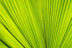 Abstract of green palm leaf Royalty Free Stock Photo