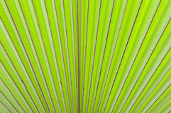 Abstract of green palm leaf nature background Royalty Free Stock Image