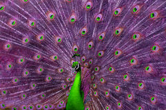Abstract green and purple peacock. A green and purple peacock spreading its tail Stock Photo