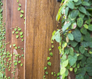 Abstract green wall of ivy gourd for background, select focus Royalty Free Stock Image
