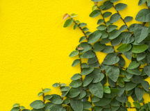 Abstract green yellow wall of ivy gourd for background Royalty Free Stock Photos