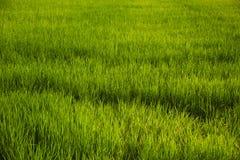 Abstract groen padieveld Stock Afbeeldingen