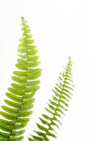 Abstract groen varenblad Royalty-vrije Stock Afbeeldingen