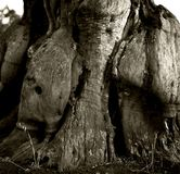 Abstract growth based on the trunk of the old olives. Black & white photo, day, Apulia, Italy, Europe, olive, trunk, old, plant, view,  outdoor, summer, roots Stock Photo