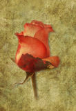 Abstract grunge card of red rose. Stock Photography