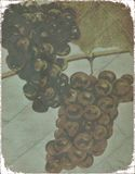 Abstract Grunge Hanging Bunches Of Grapes Stock Photography
