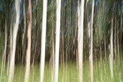 Abstract Hamakua Coast, eucalyptus trees. Royalty Free Stock Photo