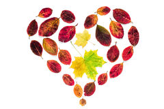 Abstract heart symbol of yellow maple and red leaves isolated on white background for blogs, magazines, articles. Flat lay abstract heart symbol of yellow maple Royalty Free Stock Image