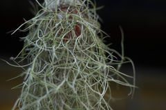 Abstract of house plants, Spanish moss hanging in garden Royalty Free Stock Image