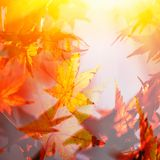 Abstract image of autumn leaves. Abstract photo of maple leaves  - double exposure Royalty Free Stock Photo