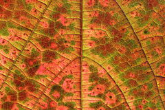 Abstract image back-lit autumn leaf (vine) Royalty Free Stock Images