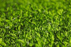 Abstract image of green grass under bright sunlight. Selective focus, film effect and author processing.  stock photography