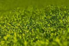 Abstract image of green grass under bright sunlight. Selective focus, film effect and author processing.  royalty free stock images