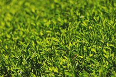 Abstract image of green grass under bright sunlight. Soft focus, film effect and author processing.  royalty free stock image