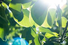 Abstract image of green leaves against bright sunlight. Selective focus, film effect and author processing.  royalty free stock images