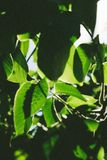 Abstract image of green leaves against bright sunlight. Selective focus, film effect and author processing.  royalty free stock photo