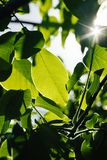 Abstract image of green leaves against bright sunlight. Selective focus, film effect and author processing.  royalty free stock photos