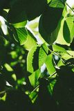 Abstract image of green leaves of walnut against bright sunlight. Selective focus, film effect and author processing.  royalty free stock images