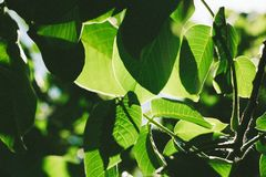 Abstract image of green leaves of walnut against bright sunlight. Selective focus, film effect and author processing.  royalty free stock image