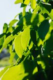 Abstract image of green leaves of walnut against bright sunlight. Selective focus, film effect and author processing.  stock photos