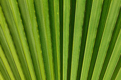 Abstract image of green palm leaf. Royalty Free Stock Photography