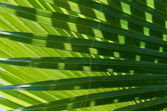 Abstract image of green palm leaf. Royalty Free Stock Photo