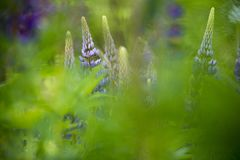 Abstract image of lupin in the spring stock photo