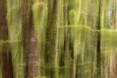 Abstract image of moss covered trees in West Coast rainforest. Abstract image of green, moss covered trees in West Coast rainforest has ethereal, dream-like royalty free stock photos