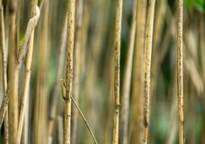 Abstract image of thin dry shield reed stems with low depth of field (DOF). Background Royalty Free Stock Image