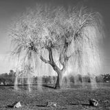 Abstract Image of a weeping willow tree Stock Photos